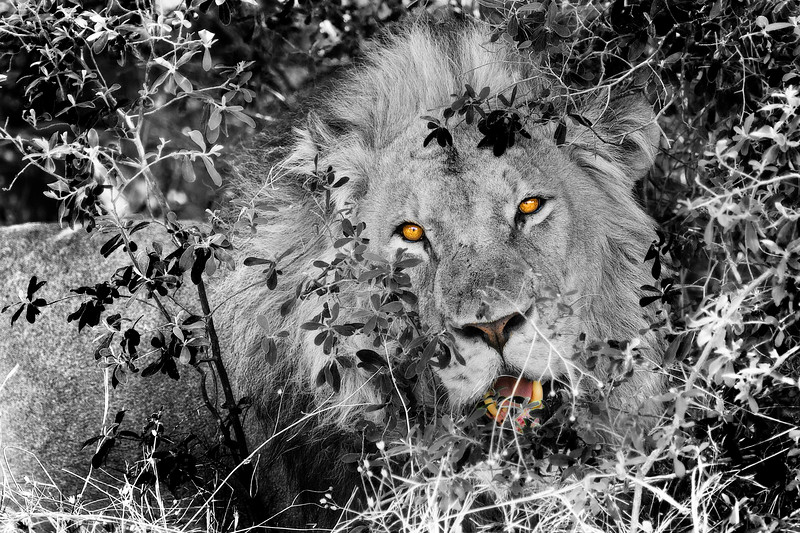 Being Watched by a Lion