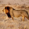 A Lion of the Kalahari Walking