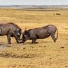 Beauty On the Hoof, The Warthog