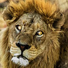 A Lion Headshot