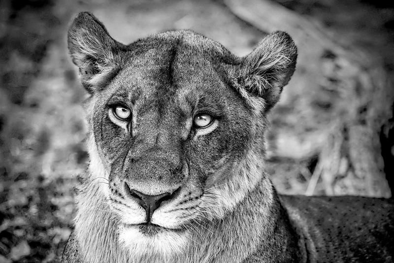 Female Lion in Botswana