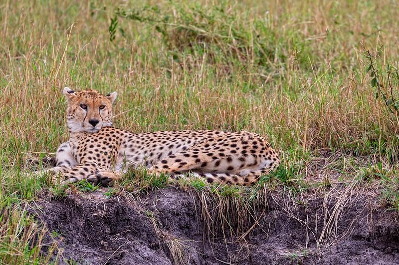 The Cheetah Stare