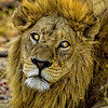Lion Headshot