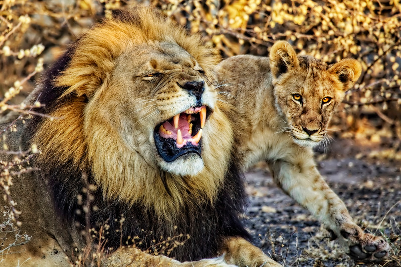 Black-Maned Lion and Cub