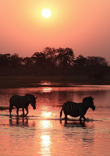 Zebra Sunset 2