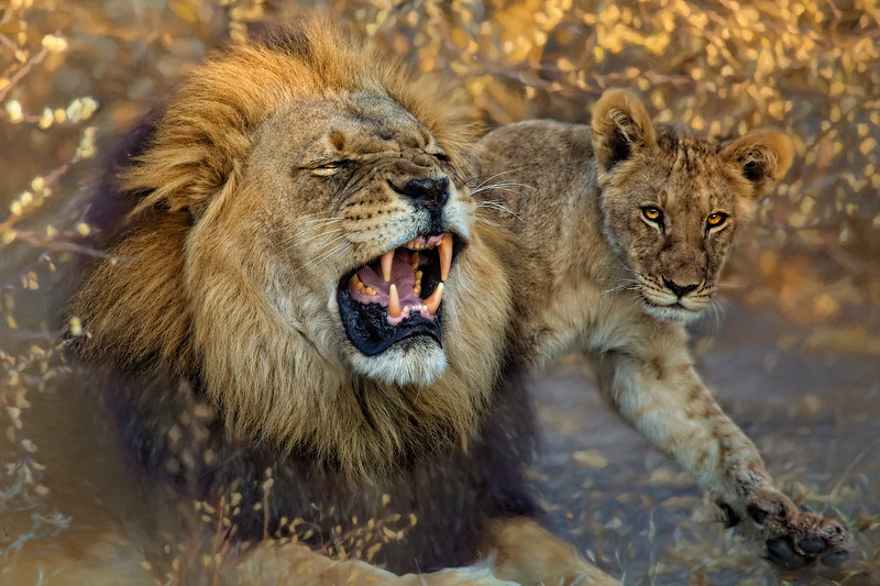 Black-Maned Lion and Cub