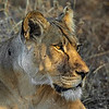 Intense Lioness in Botswana