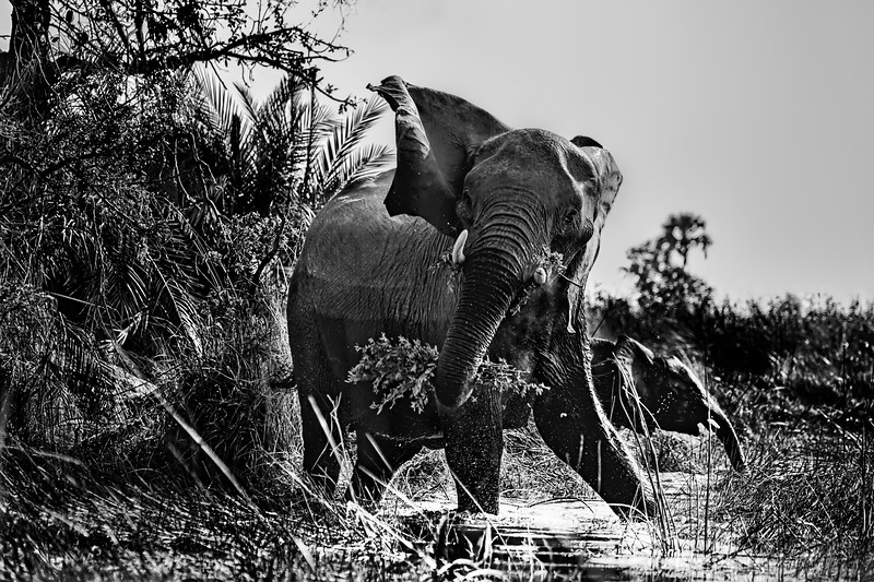 Protective Mama Elephant in Black and White