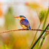Malachite Kingfisher Hunting