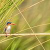 Malachite Kingfisher On Watch