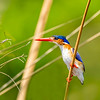 Malachite Kingfisher On the Hunt