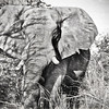 Elephant Up Close in Black and White