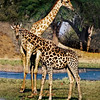 Giraffe Mama and Calf