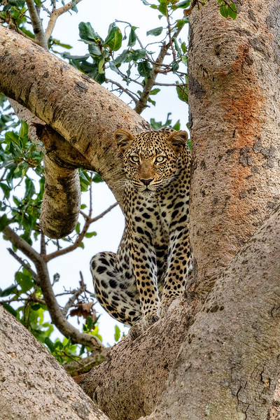 The Leopard Sits In Wait