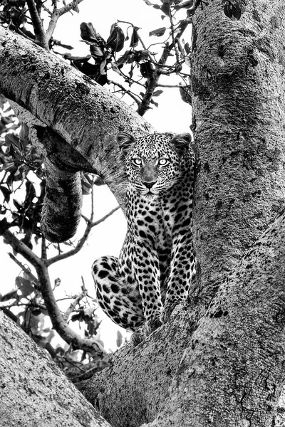 The Leopard Sits in Wait in Black and White