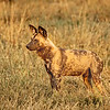 Wild Dog of Botswana