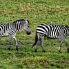 A Pair of Zebras