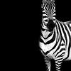 Zebra Drama