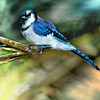 The American Blue Jay Perching