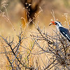 Southern Red-Billed Hornbill In The Bush