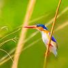 Watchful Malalchite Kingfisher