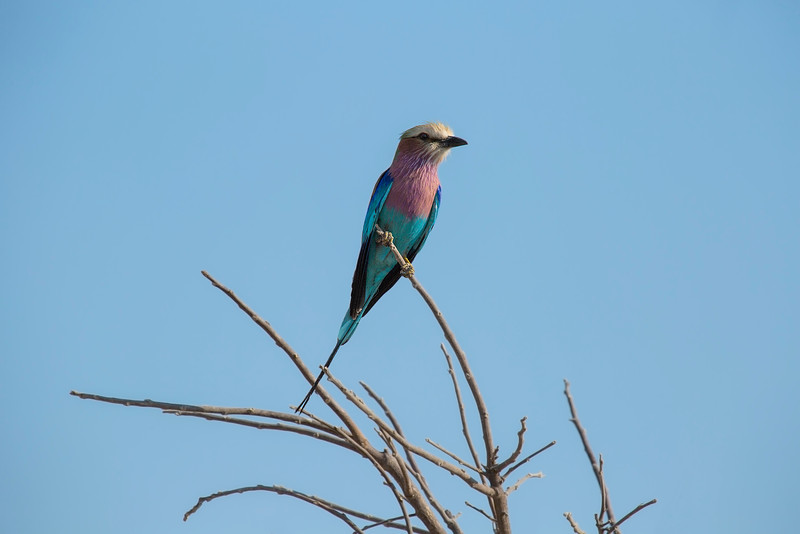 Lilac Breasted Roller On Alert