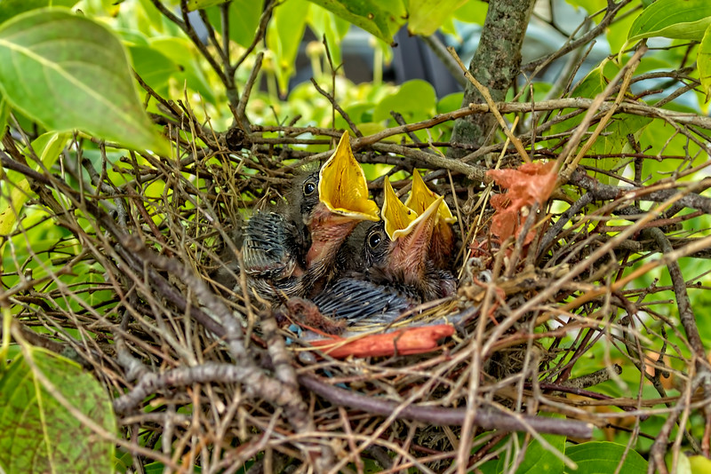 Baby Mockingbirds