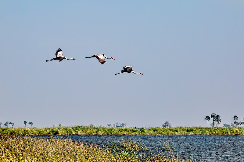 Wattled Cranes in Flight
