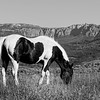 Black and White Horse Grazing in Wyoming in Black and White