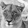 Botswana  Lioness in Black and White