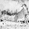 High Key Cheetah