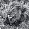 The Mighty Lion Has Fallen In Black And White