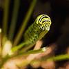 Swallowtail Butterfly Caterpillar Art