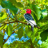 Red-Headed Woodpecker Art 6