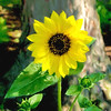 Dreamy Sunflower with Art