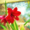 Amaryllis On The Porch