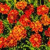 Marigolds Van Gogh