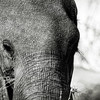 Elephant Sketch in Black and White