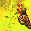 Monarch Butterfly Abstract 5