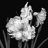Amaryllis in Black and White