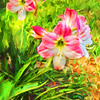Pink Amaryllis Delight