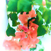 Soft Bougainvillea Trailing