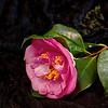 Pink Camellia Still Life