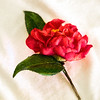 Sketchy Hot Pink Camellia