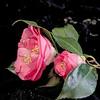 Camellia Still Life