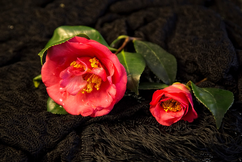 Camellias on Black Lace
