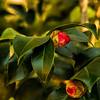 Camellia Bud