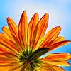 Chrysanthemum Peekaboo