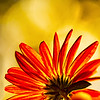 Chrysanthemum Bokeh