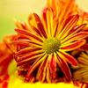 Artsy Chrysanthemum 6